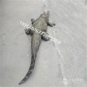 陵水鳄鱼养殖场优质商家