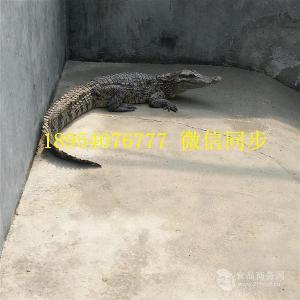 郑州鳄鱼养殖场人工养殖鳄鱼成本