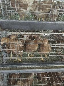 【海兰褐鸡】海兰褐鸡价格_海兰褐鸡批发_海兰褐鸡厂家