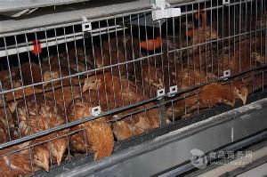 海兰褐青年鸡价格|长期供应青年鸡