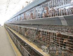 【海兰褐青年鸡,60天青年鸡,青年鸡哪里有,青年鸡价格