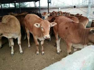 哪里出售小肉牛