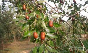 山东2018鲜红枣价格行情鲜红枣价格新鲜红枣批发市场批发基地直销