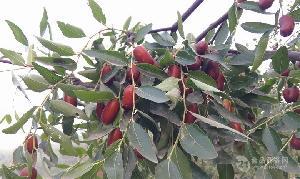 山东乐陵鲜长红枣产地代收新鲜长红枣产地代办经纪人
