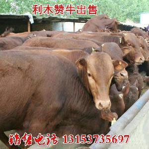 育肥牛多少钱