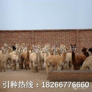 羊驼多少钱一只?哪里有羊驼的