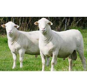 今日纯种杜泊羊种羊价格