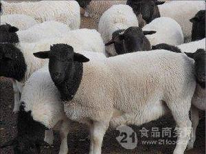 什么地方有卖黑头杜寒杂交羊种母羊的
