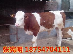 陕西西安肉牛犊多少钱一头$小黄牛养殖场