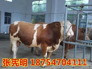 鲁西黄牛肉牛犊价格西门塔尔牛养殖基地