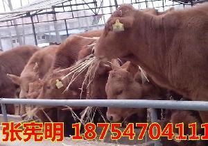 鲁西黄牛养殖价格$鲁西黄牛小牛犊价格