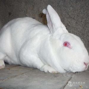 肉兔养殖  獭兔肉兔价格