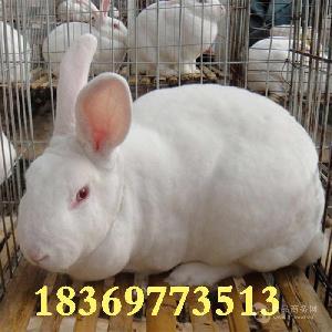 活兔子批发  肉兔 獭兔养殖