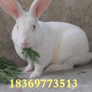 兔子品种 哪里有出售肉兔