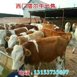 哪里卖西门塔尔牛小牛价格