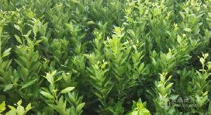 潮州大量血橙树苗批发