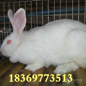 肉兔养殖利润 哪里有肉兔养殖场 獭兔肉兔巨型兔 养殖技术