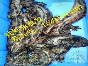 温岭娃娃鱼苗价格浙江娃娃鱼价格多少钱一斤