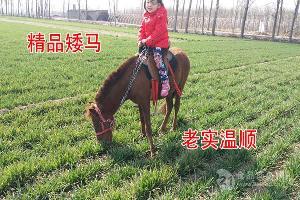 山东矮马养殖矮马出售多少钱一匹毛驴