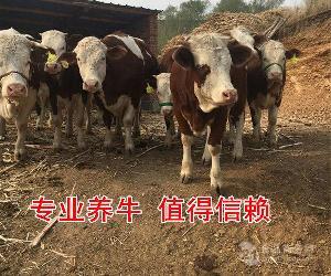 400斤左右小牛犊价格