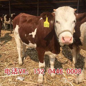 三个月小肉牛犊价格