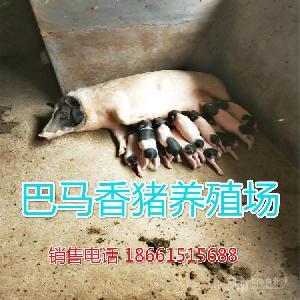 哪里卖的小香猪价格便宜