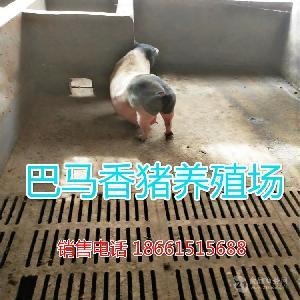 巴马香猪多少钱一斤