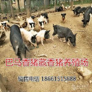 野猪仔价格 野猪哪里有卖