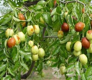 低价鲜梨枣产地供应