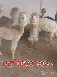 价格合理的羊驼肉多少钱一斤
