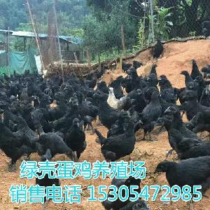 五黑一绿绿壳蛋鸡批发
