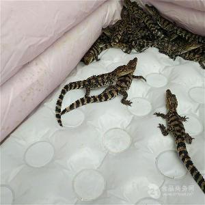 江苏金坛市哪里有鳄鱼养殖场