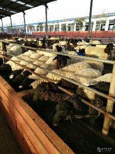 小尾寒羊养殖技术视频  辽宁小尾寒羊价格