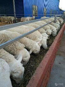 小尾寒羊多少钱斤 小尾寒羊活羊价格 小尾寒羊养殖技术