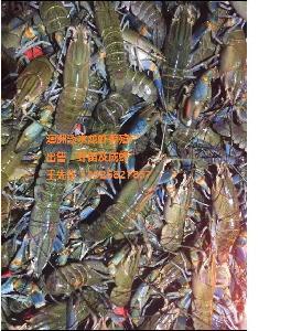 澳洲淡水龙虾 澳洲淡水龙虾苗
