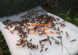 澳洲淡水龙虾苗 红鳌鳌虾虾苗 小龙虾苗2-3公分