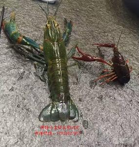 澳洲淡水蓝龙虾  新品种淡水龙虾