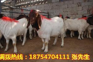 纯种波尔山羊养殖场 波尔山羊多少钱一斤
