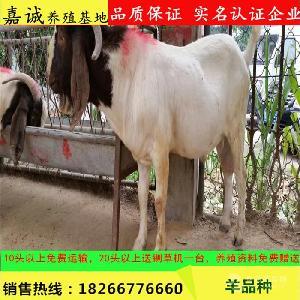 波尔山羊种羊价格6月龄小羊苗价格