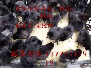 山东青岛鸡苗批发山东鸡苗市场