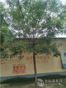9公分法桐价格全冠树