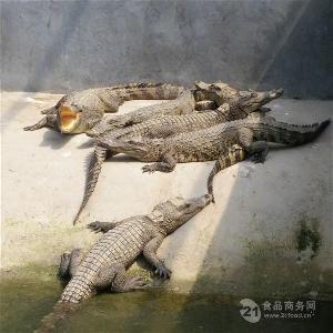 江苏镇江市小型鳄鱼多少钱一条