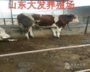 福建优质小肉牛犊