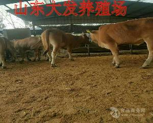 鲁西黄牛肉牛养殖场