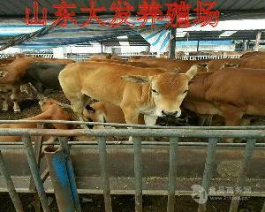 西门塔尔牛育肥牛犊