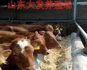 西门塔尔6个月小牛价格