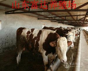 八百斤肉牛价格