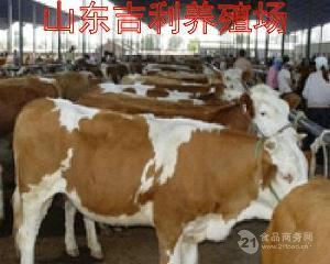 莱州育肥牛犊价格