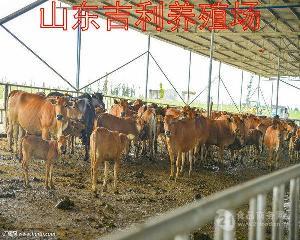 西门塔尔肉牛小牛犊