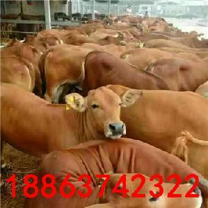 鲁西黄牛出售 哪有卖肉牛犊的